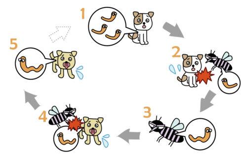 犬フィラリア症(犬糸状虫症)は蚊が媒介して感染する