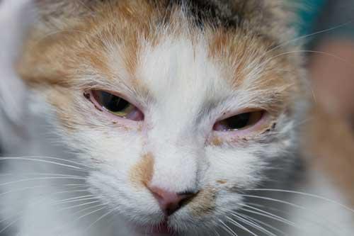 上部気道感染症(猫カリシウイルス感染症群、猫ウイルス性鼻気管炎)