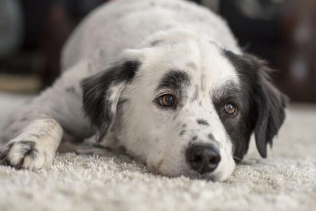 犬のフィラリア症と同じくらい怖い犬の感染症とは?
