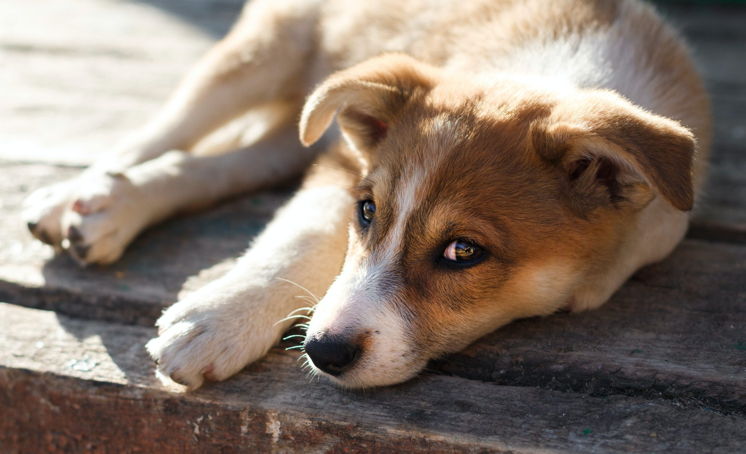 熱中症から愛犬を守ろう!ペットくすりでの熱中症対策とは?