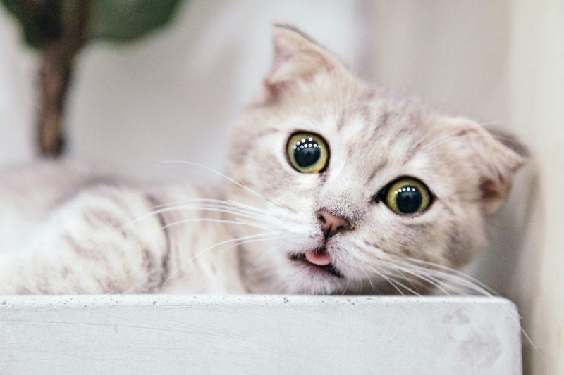 猫のフィラリア症の予防薬って、結局ペットくすりでは何が一番いいの?