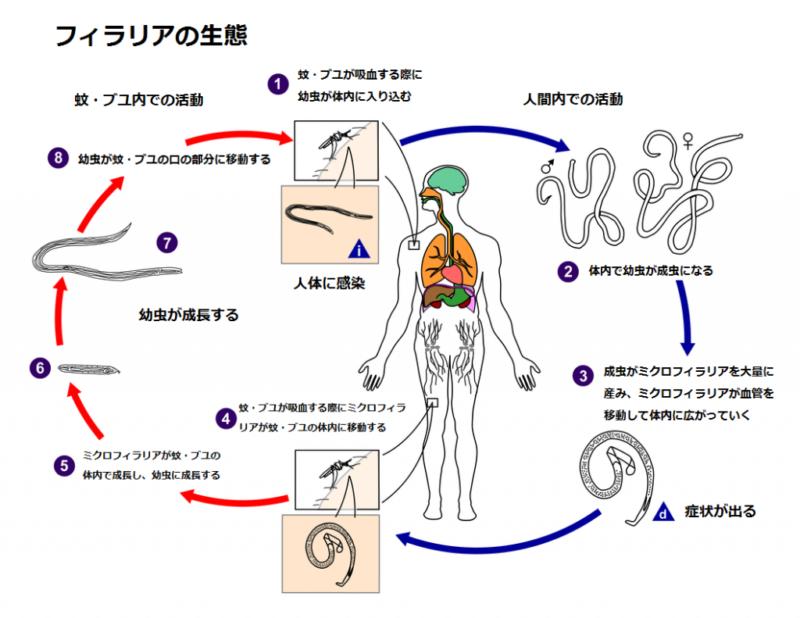 人がフィラリア症に感染する原因およびメカニズム