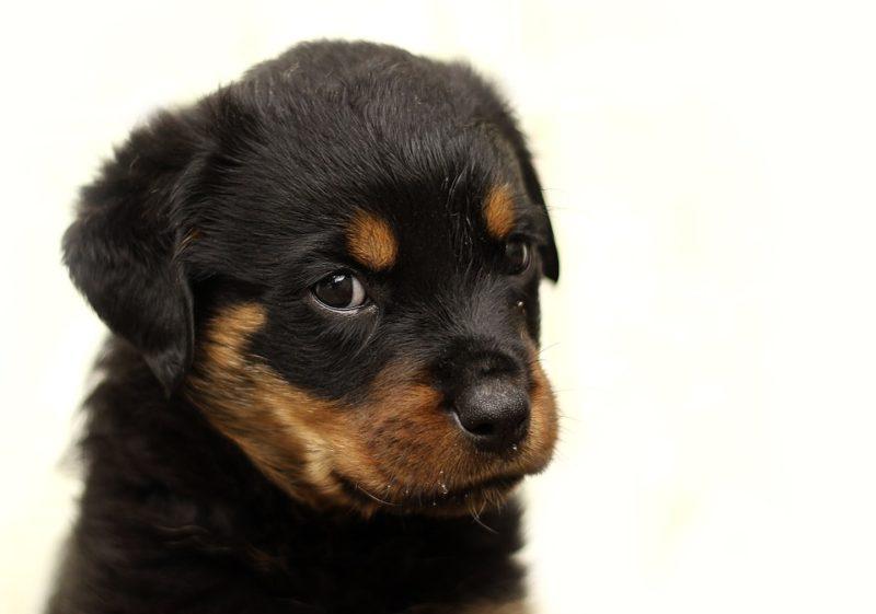 犬のフィラリア症の予防の普及率は?