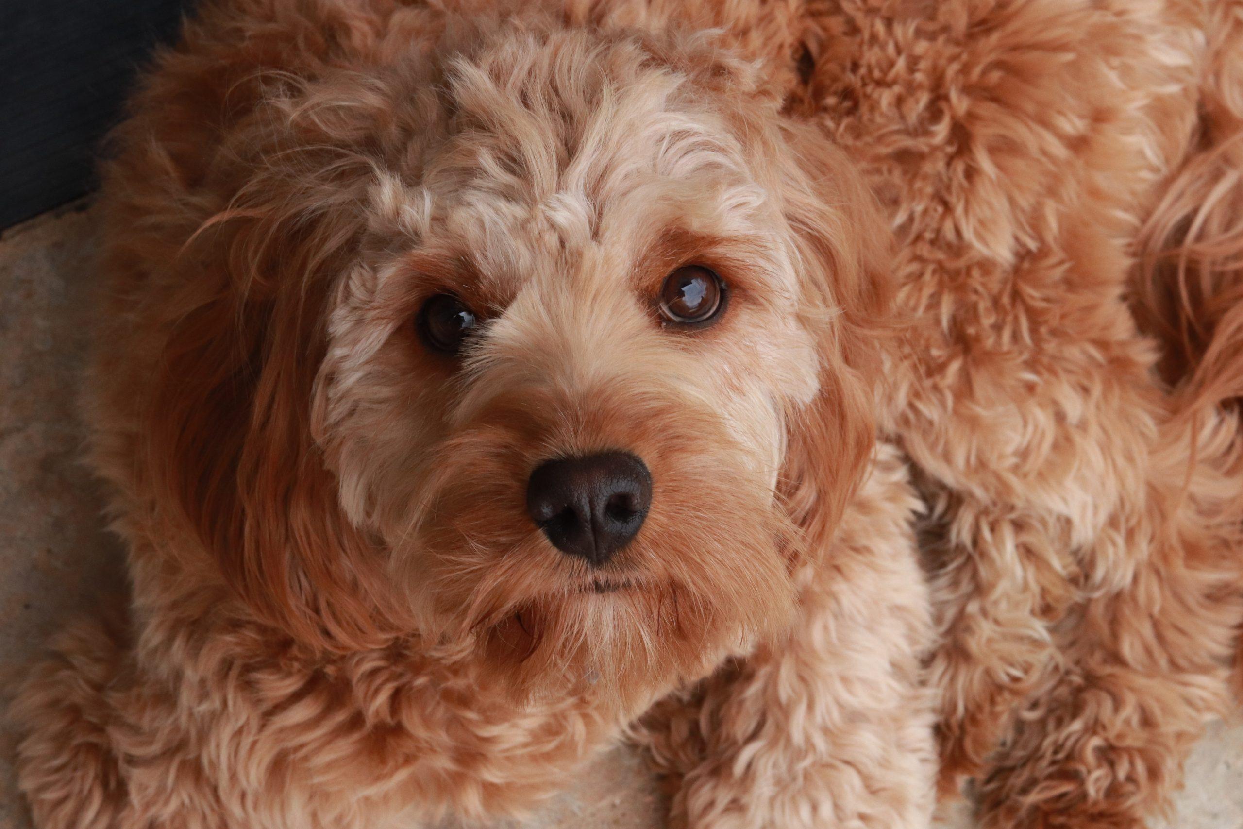 犬のアトピー性皮膚炎にはペットくすりのアポキル錠で!