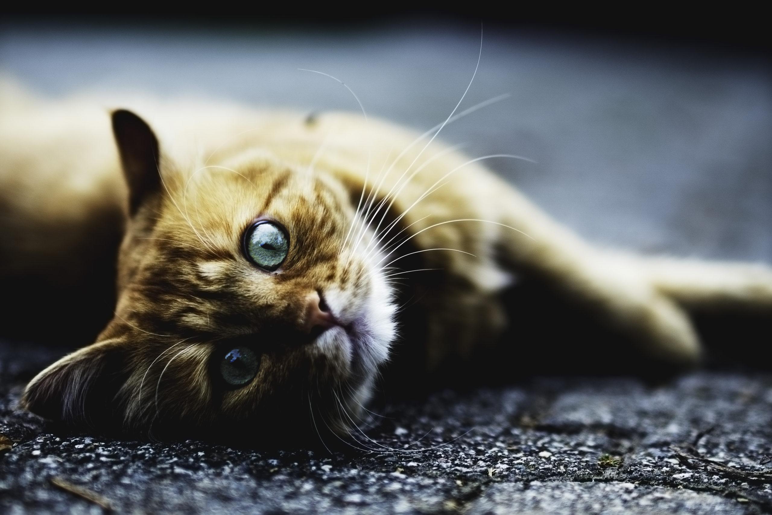 猫のフィラリア予防薬 最安値はこれだ!激安ベスト3ランキング発表!