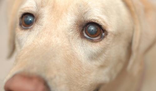 ペットくすりでの白内障治療薬「シーナック」の購入方法